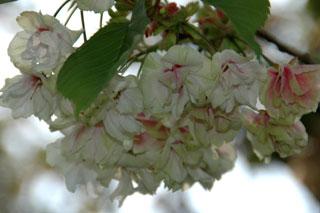 変わり桜1