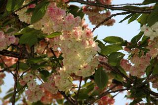 変わり桜2